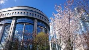 Parlamentti-kirsikkapuu